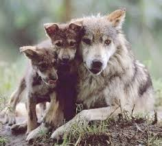 http greywolfprojectforkids com grey wolf facts for