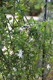 Fragrant Climbing Plants - 5 fragrant climbers sa garden and home