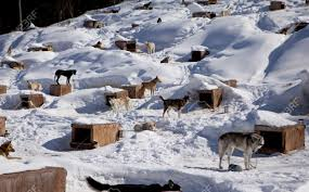 Winter Houses A Large Kennel In Winter Houses A Sled Dog Team The Individual