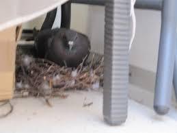 tauben auf dem balkon thread live taube nistet auf balkon babies readmore de