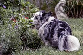 australian shepherd vs brittany cardigan welsh corgi dog breed information pictures