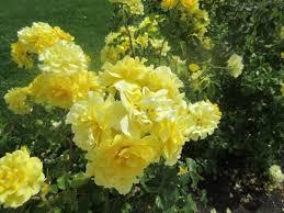 april in bloom picture of municipal rose garden san jose