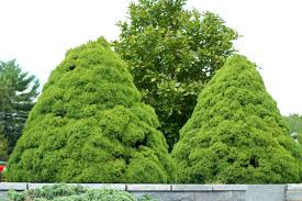 Bay Tree Topiary How To Grow Your Own Bay Tree