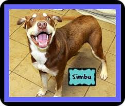 american pitbull terrier puppies louisiana simba adopted puppy covington la siberian husky american