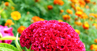 coxcomb flower how to save cockscomb seeds mrbrownthumb