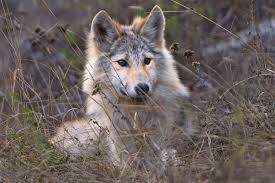 as lawmakers debate fate of wolves film commands renewed
