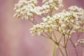 baby s breath flower branch baby 039 s breath flowers white small wallpaper