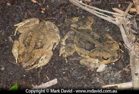 How To Get Rid Of Cane Toads In Backyard Mark David Swapping Cane Toads For Tree Frogs