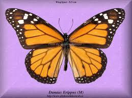 list of butterflies on this website