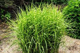 types of ornamental grasses diy ornamental grasses quality dogs