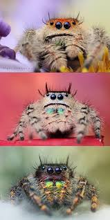 70 best arachnids images on pinterest insects jumping spider