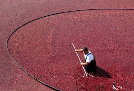 cranberries a thanksgiving staple were a american superfood