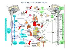 Ans Anatomy And Physiology Anatomy Of Autonomic Nervous System