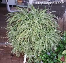 chlorophytum sp spider plant toptropicals com