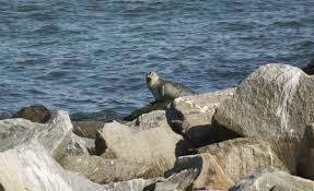 shyly but surely harbor seals have warmed up to virginia waters