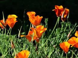 san francisco native plants shereen omar by zabih khogyani youtube