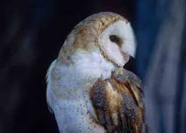 Barn Owl Sounds Barn Owl Facts History Habitats And Habits Nature And