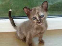 50 most cute burmese kitten pictures and images
