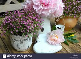 shabby chic flowers garden peonies shabby chic flowers stock photo 79616604 alamy