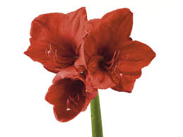 amaryllis flower amaryllis meaning symbolism teleflora
