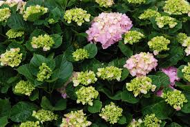 native plants of brazil hydrangea wikipedia