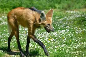 Fuels Backyard Get Togethers Little Riddles 10 Leggy Facts About The Maned Wolf Mental Floss