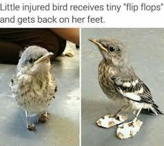 Funny Bird Memes - little injured bird receives tiny flip flops and gets back on her