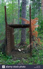 taiga native plants brown bear ursus arctos live trap for wildlife management in the