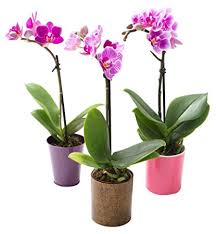 orchid plants kabloom live orchid plant collection set of 3 mini