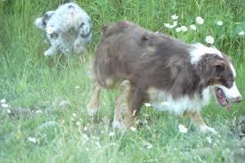 d bar d australian shepherds wyatt kicks and giggles mini aussies