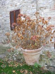 potare le ortensie in vaso la finestra di stefania giardinaggio ortensie quando e come fare