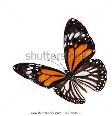 beautiful flying white tiger butterfly danaus stock photo 300523538