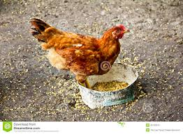 chicken hen looking for feed stock photo image 45790219