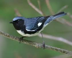 73 best birds of ohio summer images on pinterest ohio summer