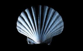 shell wallpaper sea shell wallpapers hd wallpapers 79794