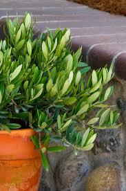 ollie olive monrovia ollie olive