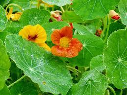 nasturtiums cool season annual flowers