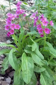 colorado native plants parry u0027s primrose