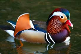 the meaning of the dream in which you saw duck
