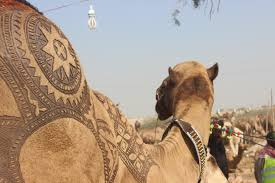 pakistani barbers create fascinating u0027haircuts u0027 on camels using