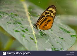 harmonia tiger wing butterfly sitting on a leaf stock photo