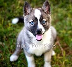 siberian husky mixed with pomeranian photo happy dog heaven