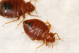 Bed Bugs In Ohio You Found One Bed Bug U2014 Now What Pct Pest Control Technology