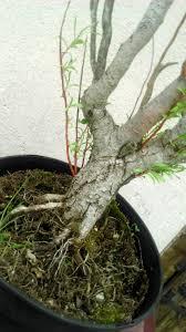 bonsai saule pleureur saule tortueux mes premiers bonsai présentation et premiers