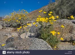 mexican gold poppy eschscholtzia mexicana blooming desert stock