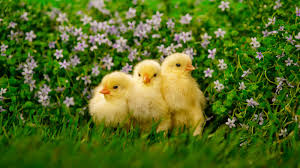 chickens hd high definition wallpapers 1 amazing world gallery