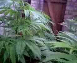 cannabis im garten mein garten in der 9 woche wundersch禧n