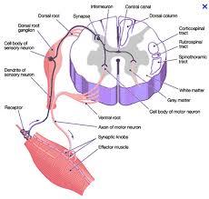 Motor Reflex Arc Neurobiology Biology4friends