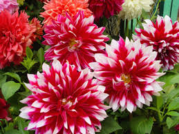 dahlias flowers dahlia flowers of mexico