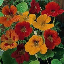 nasturtium flowers nasturtium tom thumb mixed seeds thompson